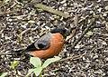 Pyrrhula pyrrhula -Sculthorpe, England -male-8 (1).jpg