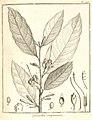 Quararibea guianensis Aublet 1775 pl 278.jpg