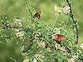 Queen (Milkweed Butterfly) San Pedro RNCA@ Fairbanks AZ 2018-08-08 11-20-31 (43666429134).jpg