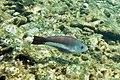Queen parrotfish Scarus vetula (2447874928).jpg