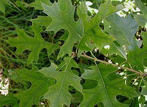 Quercus palustris - Leaves