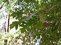 Quercus Cerris - Leavs 01.JPG