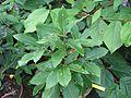 Quercus pontica - Flickr - peganum (2).jpg