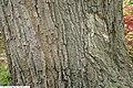 Quercus prinus 2zz.jpg
