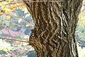 Quercus serrata (24045470535).jpg