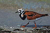 RUDDY TURNSTONE RUNNING ALONG SANIBEL BEACH.jpg