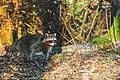 Raccoon (46203771895).jpg