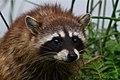 Raccoon (Procyon lotor) (3479535813).jpg