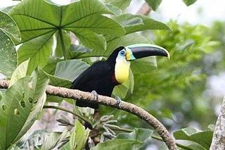 Citron-throated toucan species of bird