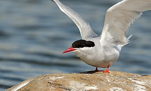 Randtiir - Arctic tern - Sterna paradisaea.jpg