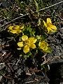 Ranunculus eschscholtzii 21682.JPG