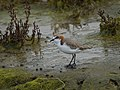 Red-capped Plover (36409827930).jpg
