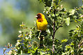 Red-headed Bunting (Emberiza bruniceps) (8079416264).jpg