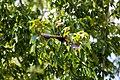 Red-winged blackbird (33971538193).jpg