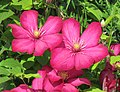Red Clematis Flowering (9108344228).jpg