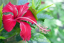 Red Hibiscus.jpg
