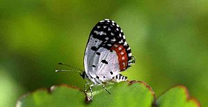 Bryophyllum pinnatum - Red Pierrot butterfly is resting in the edge of the Patharkuchi (পাথরকুচি) leaf