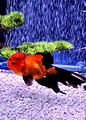 Red oranda with black fins.jpg