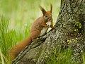 Red squirrel (40835430713).jpg
