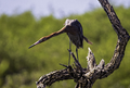 Reddish egret fishing.png