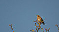 Redwing in Tree Tops (11605733395).jpg