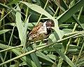 Reed Bunting. Emberiza schoeniclus (44523903060).jpg