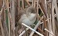 Reed Warbler.jpg