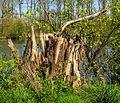 Restant omgewaaide boom. Locatie, natuurterrein Beekdal Linde Bekhofplas.jpg