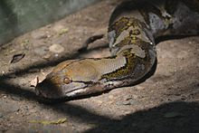 Reticulated python in Pune