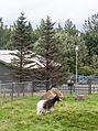Reykjavík Zoo 2014-08-02-12.jpg
