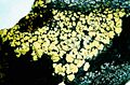 Rhizocarpon geographicum-1.jpg
