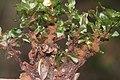 Rhizomnium magnifolium (a, 144151-472918) 3609.JPG