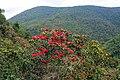 Rhododendron arboreum, Western Arunachal 2 AJTJ.jpg