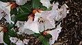 Rhododendron moupinense (2).jpg