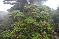 Rhododendron yakushimanum 05.jpg