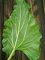 Rhubarb-leaf.jpg