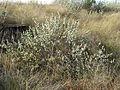 Rhynchosia nitens, Phalandingwe, a.jpg