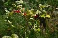 Ribes alpinum-alpine-currant-ms-1.jpg