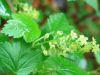 Ribes alpinum.jpeg