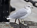 Ring-billed Gull (6273459041).jpg