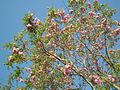 Robinia pseudoacacia, Médis(2).JPG
