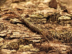 Rock Bristletail (15483901826).jpg