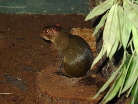 Roedor Orange-rumped agouti GFDL.jpg