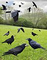 Rook from the Crossley ID Guide Britain and Ireland.jpg