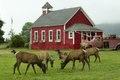 Roosevelt elk roam in Orick, California LCCN2013632716.tif