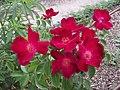 "Rosa ""Cascade"". 01.jpg"