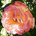 Rosa JACose. 02.jpg