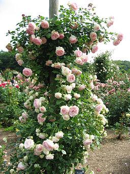The pierre de ronsard rose old fashioned romance modern for Pierre de ronsard rosa