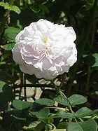 Rosa 'Maiden's Blush', an Alba rose