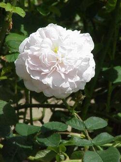 'Maiden's Blush' (Rosa alba)